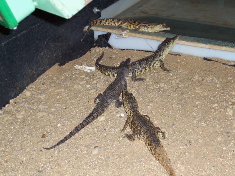 Krokodýlí farma - Agrodružstvo Jevišovice