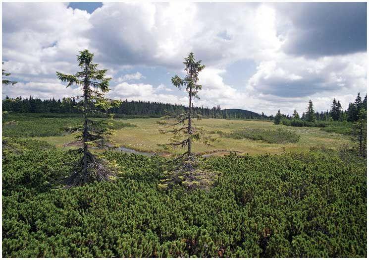 Černá hora u Janských Lázní - rašeliniště - autor Zp, licence CC 3.0 http://creativecommons.org/licenses/by-sa/3.0/deed.cs,