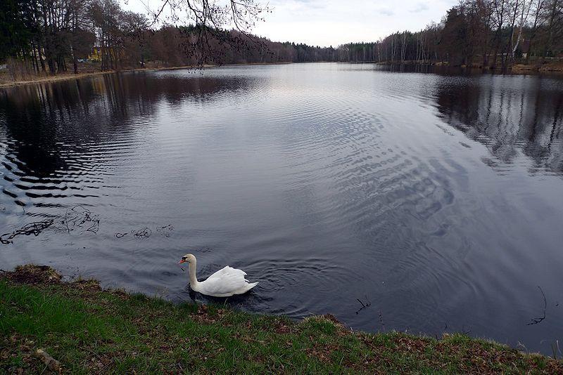 Hradčanské rybníky - Jeřáb Popelavý